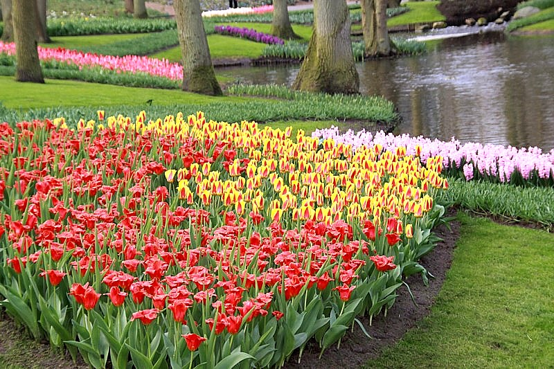 Keukenhofin 32 hehtaarin kukkapuistossa Hollannissa kukkii tänäkin vuonna yli 7 miljoonaa sipulikukkaa.