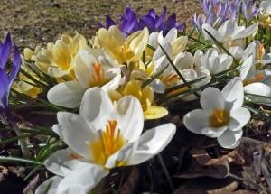Krookukset ovat keväisen puutarhan väriläistä. Mukuloita voi istuttaa maan routaantumiseen saakka.