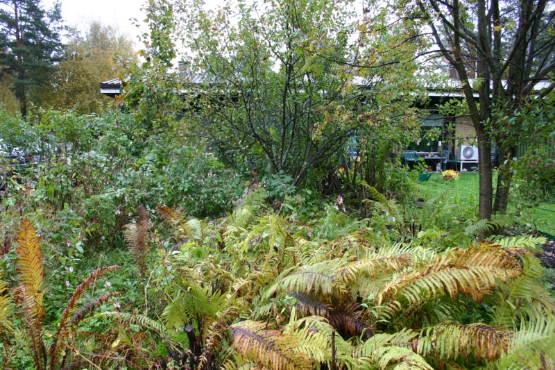 Rikkaruohoviidakon  keskellä kasvoi ränsistynyt ylitiheä omenapuu kannatellen oksillaan runsasta satoa.  Jättipalsami  ja kotkansiipisaniainen olivat vallanneet nurmikon ja heinittyneet kukkapenkit.