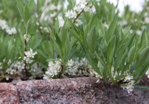 Lamohietakirsikka kukkii alkukesästä valkein kukin.   Syksyllä maanpeitepensasta koristavat punamustat marjat ja lehvästön kaunis syysväritys.